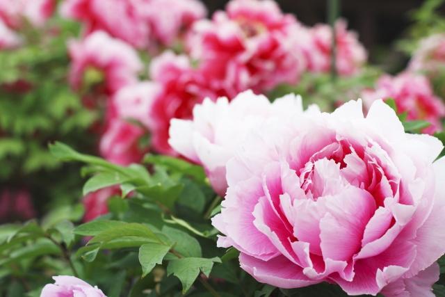 牡丹の花の写真